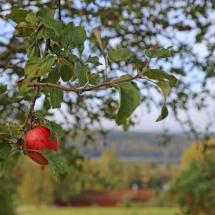 Apfel im Garten
